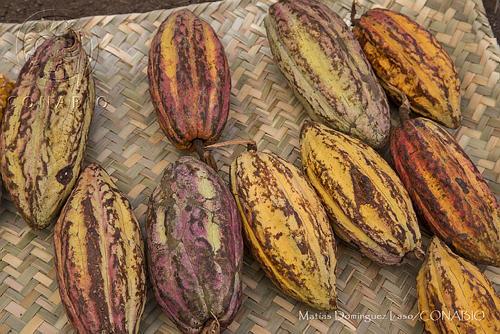 Certamen Mesoamericano  de Cacao Amigable con la Biodiversidad (CMC)