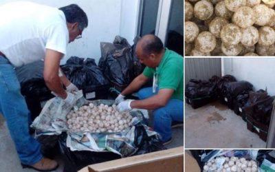 Golpe al tráfico de huevos de tortuga en la carretera 200 Pinotepa