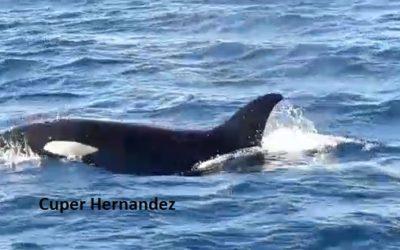 Inicia allegar ballenas a la costa de Oaxaca