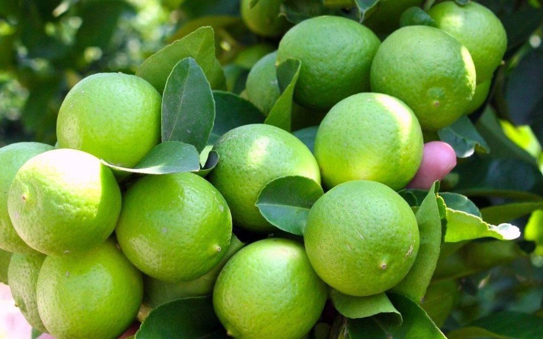 Oaxaca potencia en producción nacional de limón persa