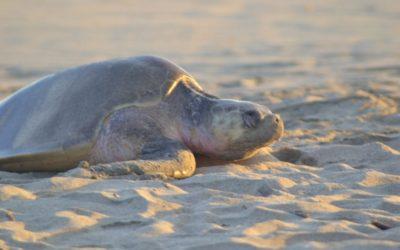 Atiende la tercera arribada de tortuga golfina en la costa de Oaxaca