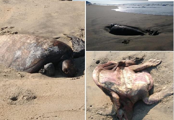 Tardía e insuficiente respuesta de Profepa ante mortandad de tortugas en la Costa
