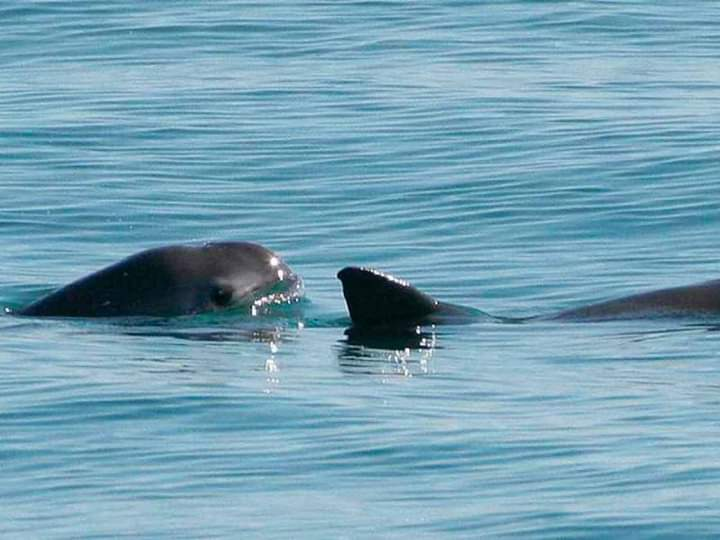 Exigen mantener Zona de Tolerancia Cero de la vaquita marina